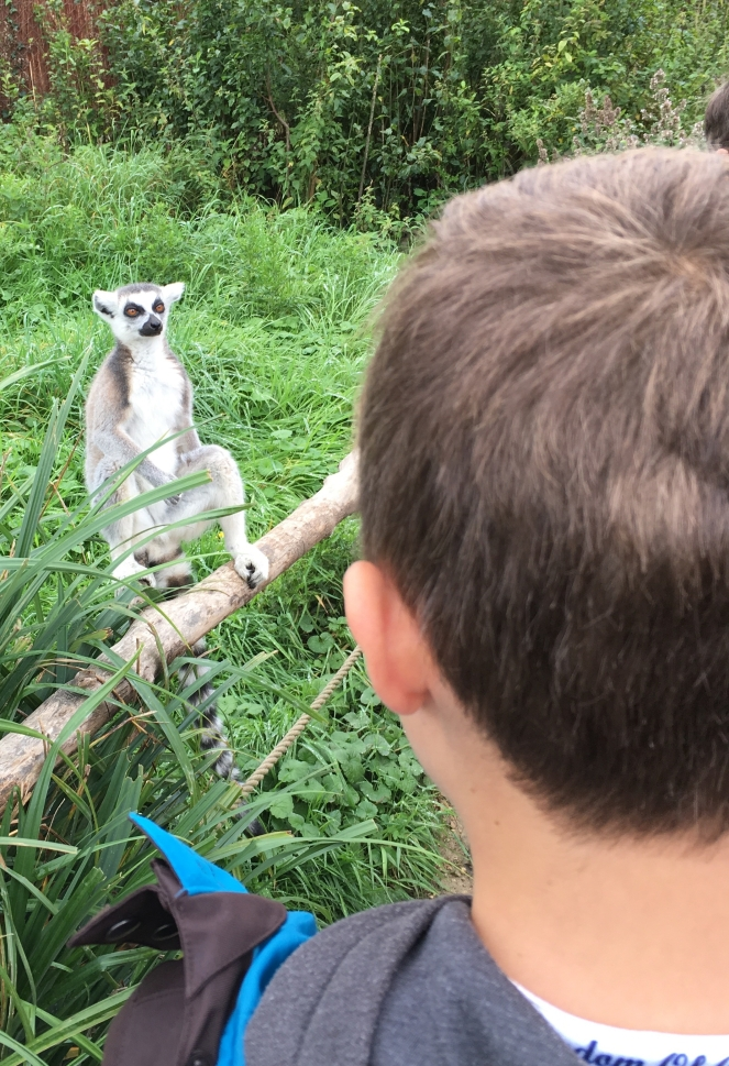 lemur at wild place project